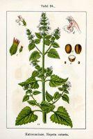 Catnip Seed Hydrosol