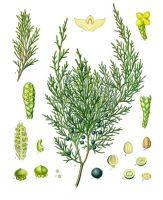Cedarwood essential oil. Texas