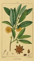 Anise Seed Essential Oil, Star