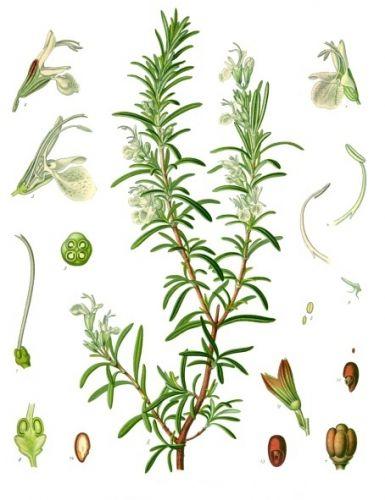 Rosemary Hydrosol, Verbenone